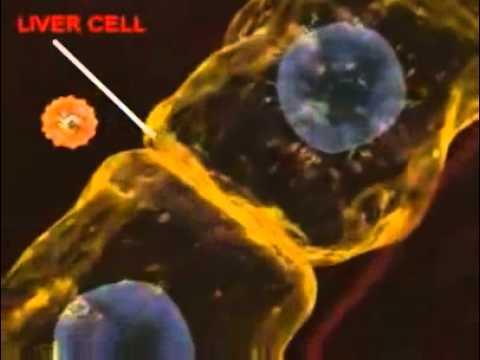 Гепатит — Википедия
