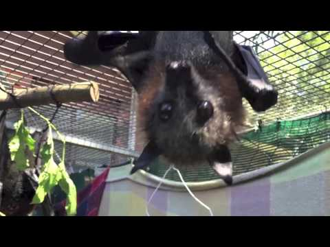 Bat wants to be with people:  Polly wants a human