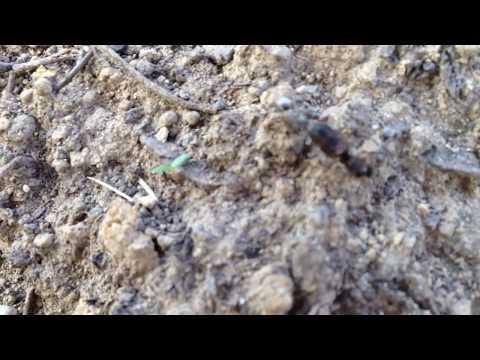 Ameisen beim Transport