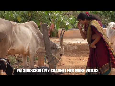 TRADITIONAL OR VEDIC METHOD OF MAKING  ORGANIC BUTTER AND GHEE | VILLAGE STYLE (PART – 2)