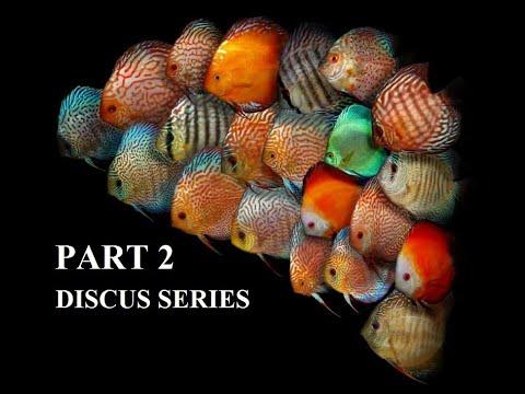 DISCUS FISH COLLECTION : DISCUS SERIES PART 2