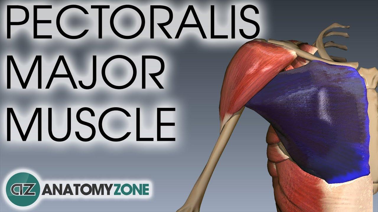 Pectoralis Major Muscle Anatomy Anatomyzone Youtube