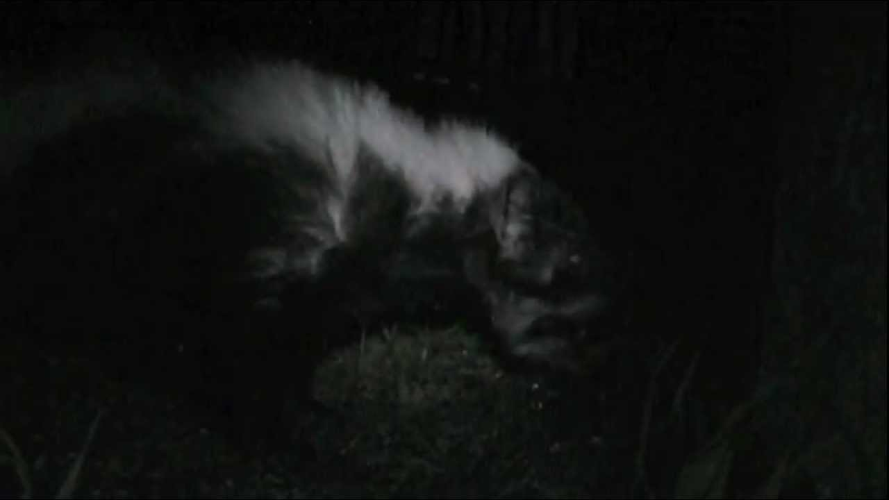 Skunks At Night