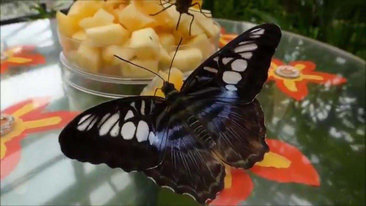 Tropische Schmetterlinge Bis Zum 13 März 2016 Im Botanischen Garten