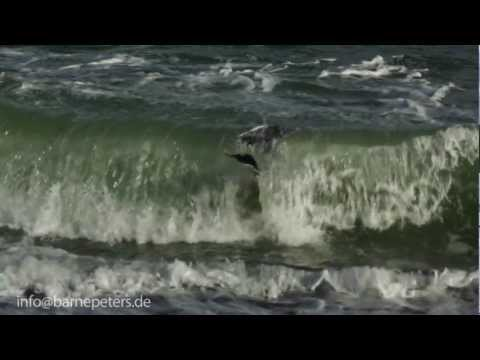 Seagull having lunch in Slowmotion