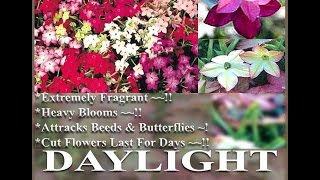 DAYLIGHT SENSATION FRAGRANT NICOTIANA  - Nicotiana affinis FLOWER SEEDS on  www.MySeeds.Co
