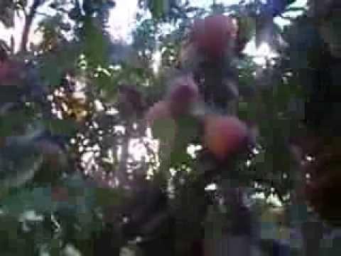 Cultivo de Duraznos o melocotonero - Mosca de la fruta y larbas