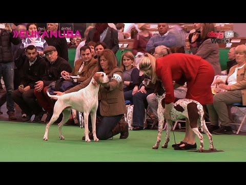 Crufts 2016 - Pointer Best of Breed