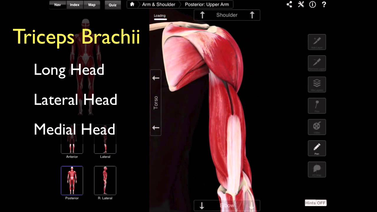 102 The Posterior Compartment Of The Arm - YouTube