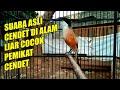 Suara Asli Cendet Di Alam Liar Pemikat Cendet Cocok Juga Buat Cendet Agar Semakin Gacor  Mp3 - Mp4 Download
