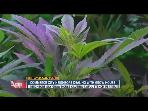 Commerce City neighbors dealing with marijuana grow odor