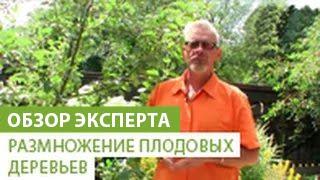 Размножение плодовых деревьев(В этом видео наш эксперт расскажет Вам о том как правильно размножать плодовые деревья. Если вы хотите прио..., 2014-07-03T08:52:51.000Z)