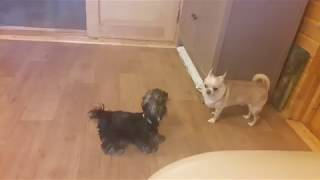Смешные собаки. Йоркширский терьер и Чихуахуа. Funny Dogs.