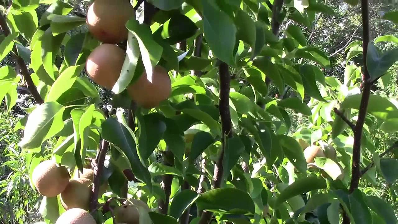 hosui growing asian pear in your own backyard part 5 planting