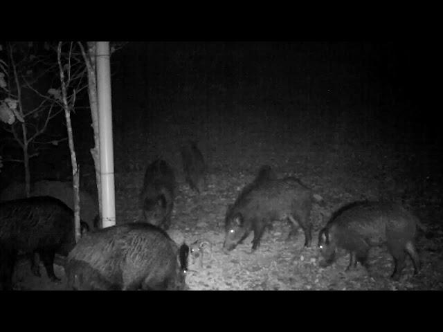 Feasting wild boar