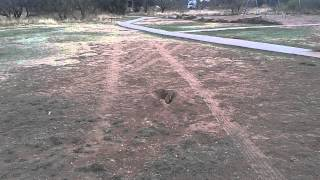 Prairie dogs Bark