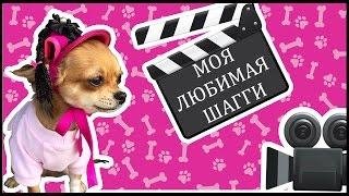 Чихуахуа  ШАГГИ моя любимая собачка! )))