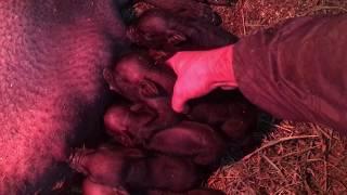 Опороc вьетнамкой свиньи