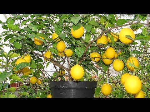 Лимон дома в горшке. Почему у лимона облетают листья