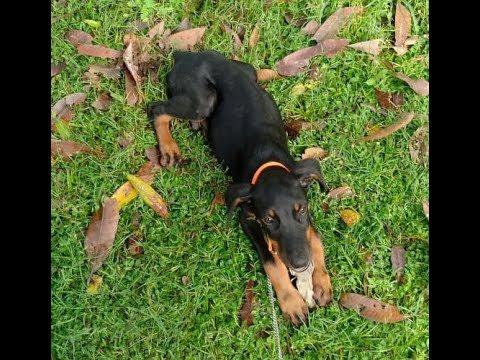 FREE doberman pinscher puppy