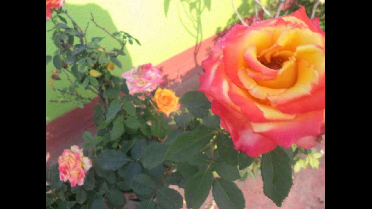 Amazing Red & Yellow Color Combination Rose Blooming in Spring ...