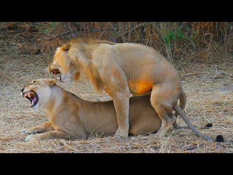 The ManEating Lions of Tsavo  Today I Found Out