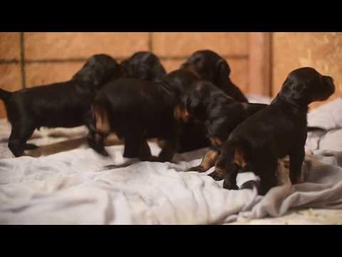 Gordon Setter Puppies: 25 days old