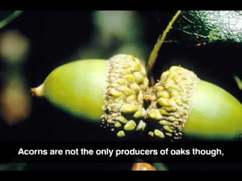 Gambel Oak (Audio Description)