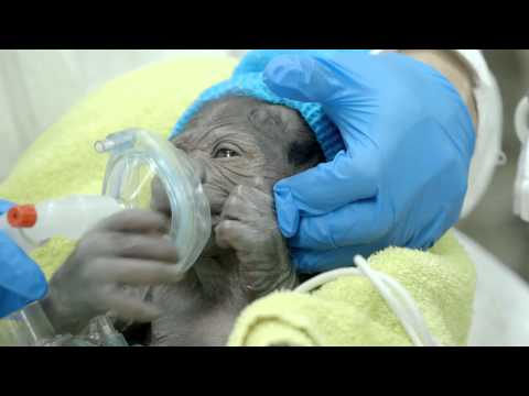 Baby Gorilla Delivered In Rare C-Section At San Diego Safari Park