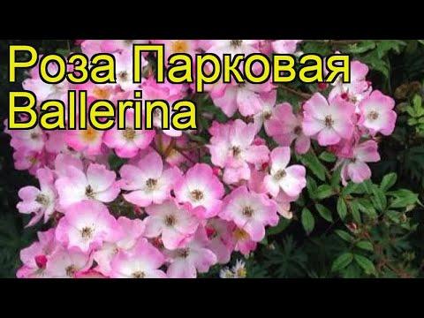 Роза парковая баллерина. Краткий обзор, описание характеристик, где купить саженцы Ballerina