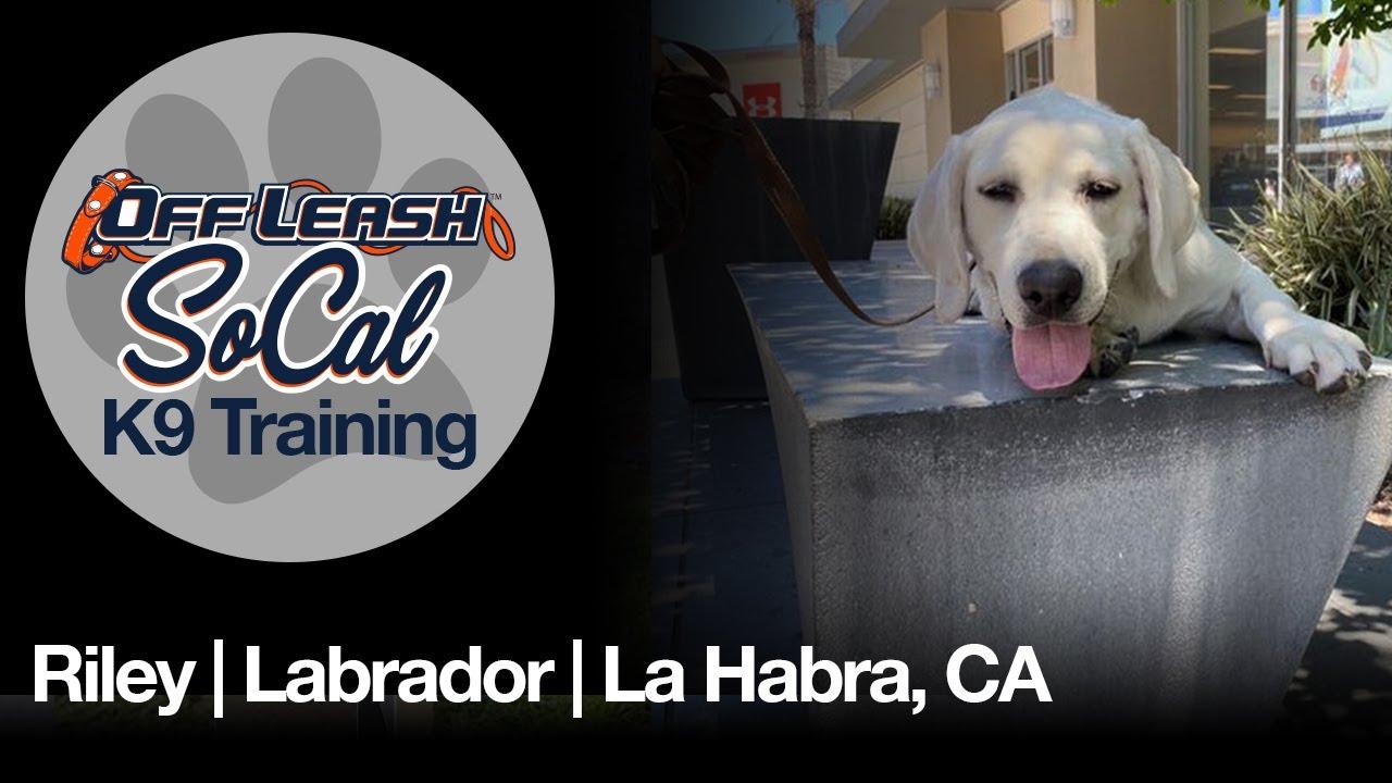 Riley | Labrador | La Habra, CA