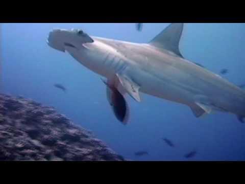 Shark Weekend - Great Hammerhead Shark