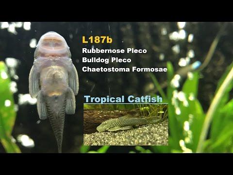 L187b Rubbernose Pleco - Bulldog Pleco - Chaetostoma Formosae (Catfish)