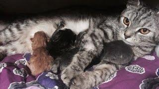 Кормление котят / мама Хамса / Папа Том: порода Скоттиш Фолд / Шотландская вислоухая кошка /котята