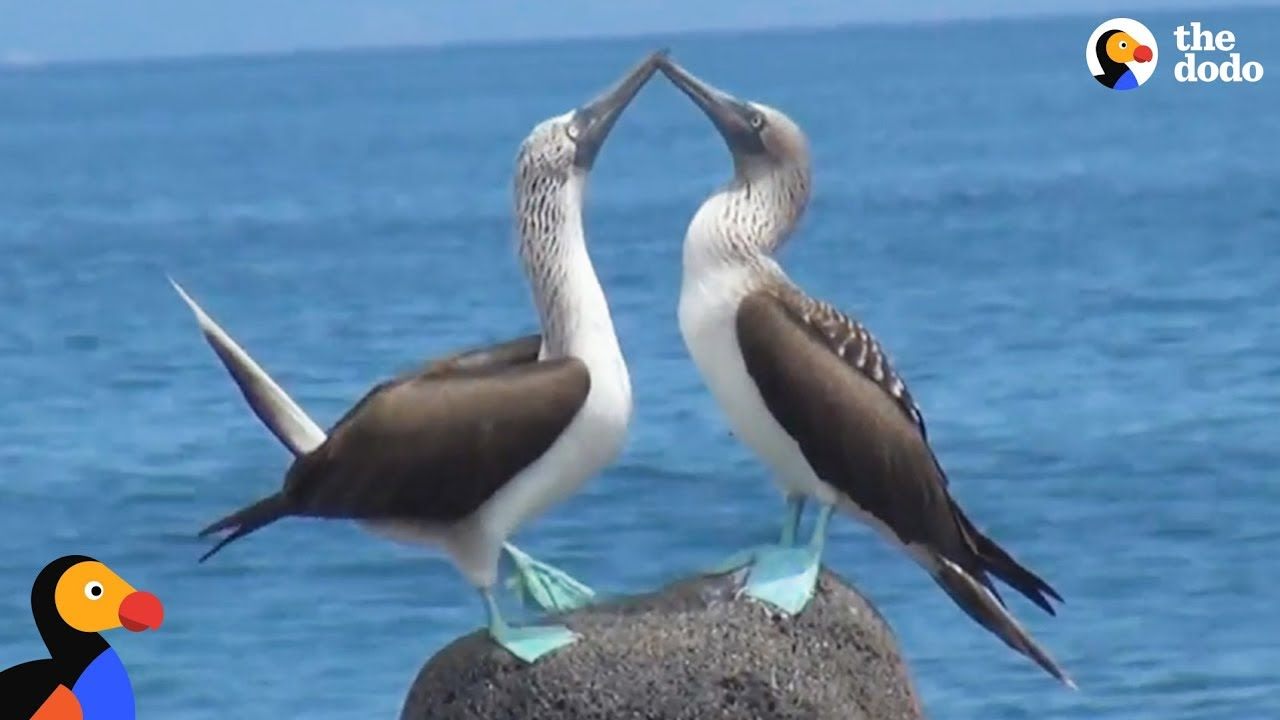 Blue-Footed Boobies Mating Dance is the Best Thing Ever | The Dodo