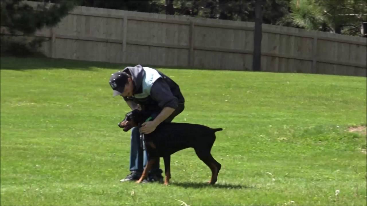 Zander Doberman Pinscher Boot Camp Dog Training