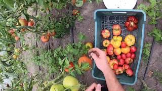 #252- Co w pomidorach piszczy ? Słomek podsumowuje sezon pomidorowy :D co poszło nie tak ?