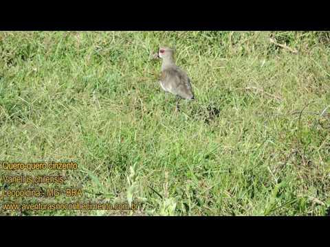 Quero-quero (Vanellus chilensis) - AVES - BIOLOGIA
