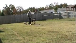 Doberman Basic Leash Training