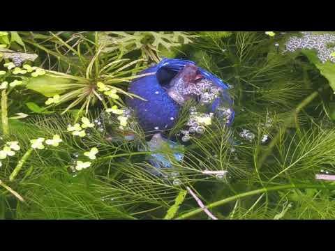 BETTA FISH BREEDING  - Betta Fish Breeding Ritual