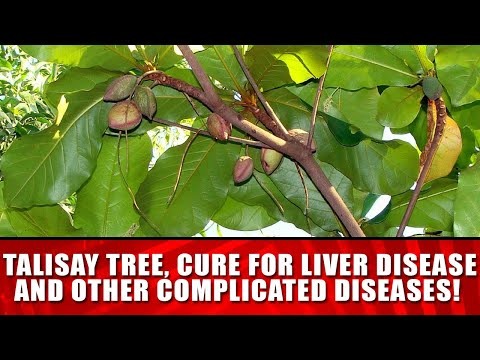 TALISAY TREE, CURE FOR LIVER DISEASE AND OTHER COMPLICATED D