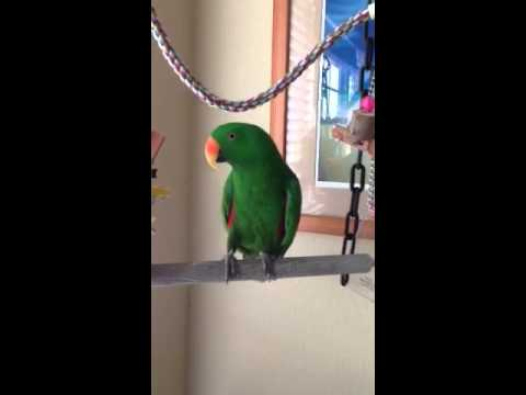 Meet Turko.  He is a Solomon Island Eclectus Parrot.