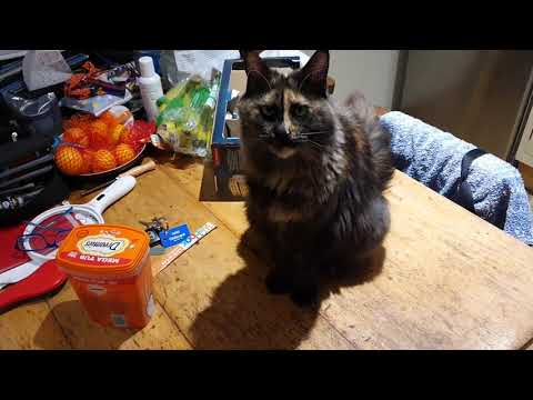 Our Maine Coon (Mona) telling us what she wants