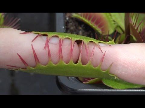 2 Pinky Fingers vs Large Venus Flytrap