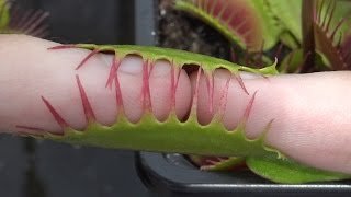 2 Pinky Fingers vs Large Venus Flytrap