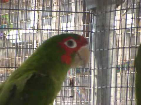 Birds & Parrots for sale from the Crazy Parrot