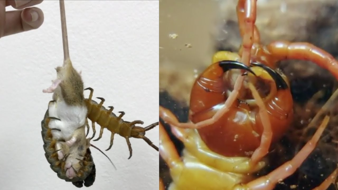CENTIPEDE FEEDING UP CLOSE – GIANT CENTIPEDES BITING AND EATING
