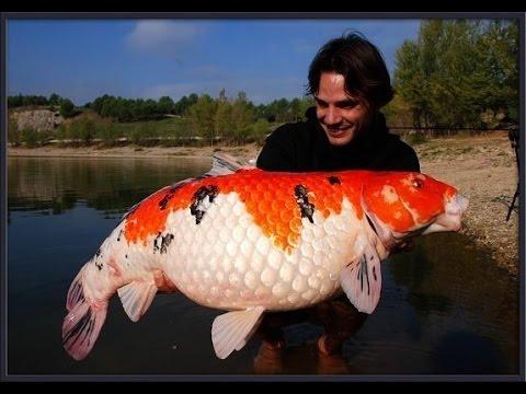 Heboh !!! Ikan Koi Terbesar Di Dunia