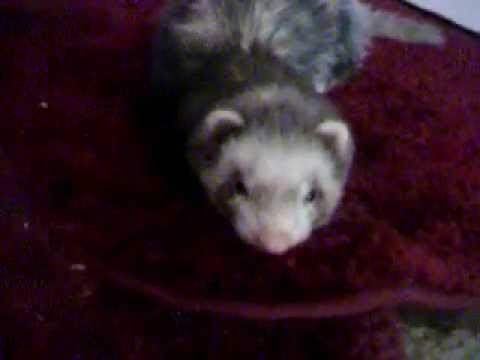My Beautiful Ferret Frettaluna