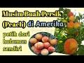 - Panen Buah Persik/Peach di Amerika | Peach Picking